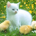 Kitty_and_Chicken_-_a_friends