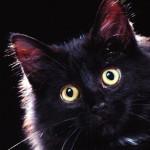 Peek-a-boo,_Domestic_Longhair