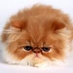 Vanessa,_Persian_Kitten